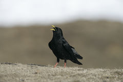 Alpine chough or yellow-billed chough, Pyrrhocorax graculus Royalty Free Stock Photos
