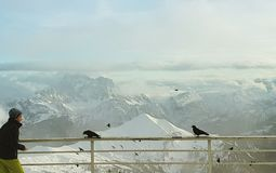 Alpine choughs at Dolomites stock photography