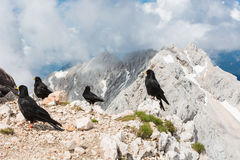 Alpine choughs with mountain view Stock Photography