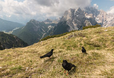 Alpine choughs resting on meadow in Dolomites Royalty Free Stock Photography