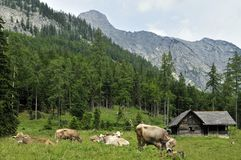 Alpine Cottage & Cows Royalty Free Stock Photo
