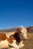 Alpine cow Stock Photography