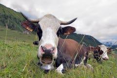 Alpine cow Royalty Free Stock Image