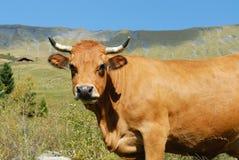 Alpine cow. Cow, farm animal in the french alps, Tarine race cow, savy, beaufort sur Doron Stock Photo