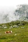 Alpine cow. Cow grazing in alpine pasture in Retezat mountains,Romania Stock Photography