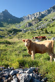 Alpine cow Stock Images