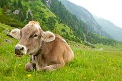 Alpine cow Stock Image