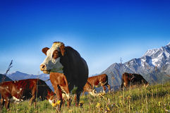 Alpine cow Royalty Free Stock Photo