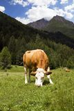 Alpine cow. Brown and white cow grazing on alpine meadow royalty free stock photography