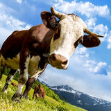 Alpine cow in alps Stock Images
