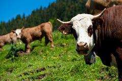 Alpine cow close-up. Portrait Stock Image