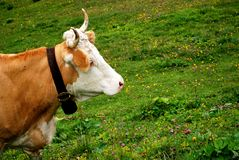 Alpine cow and cowbell Royalty Free Stock Photos