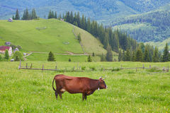 Alpine cow. Cows are often kept on farms and in villages. This is useful animals. Stock Photo