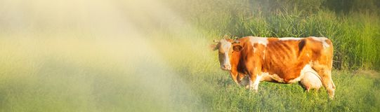 Alpine cow. Cows are often kept on farms and in villages. This is useful animals. Cows give milk is useful. In the Carpathians, royalty free stock photography