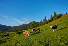 Alpine cow. Cows are often kept on farms and in villages. This is useful animals. Stock Photos