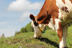 Alpine cow Stock Photography