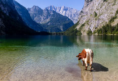 Alpine cow drinking water from Obersee lake, Konigssee, Germany Royalty Free Stock Photo