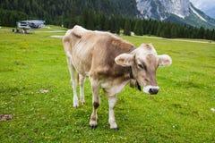 Alpine Cow Stock Images
