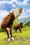 Alpine cow Stock Photos