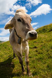 Alpine cow on green meadow Stock Photography