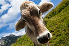 Alpine cow on green meadow Stock Image