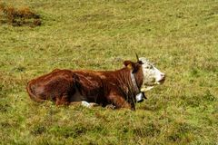Alpine cow on the green meadow in the Alps Stock Image