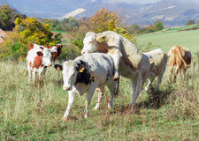 Alpine cow in his pasture. In high alps Stock Image