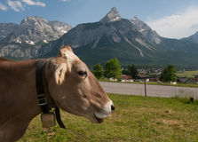 Alpine cow looking to the right side Royalty Free Stock Image