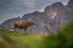 Alpine cow in a medow in Italy Royalty Free Stock Photography