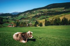 Alpine cow relax on green meadow, Italy Stock Image