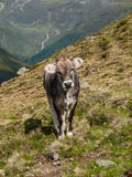 Alpine cow in Sellrein area Royalty Free Stock Photography
