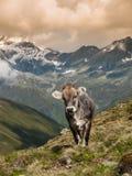 Alpine cow in Sellrein area Stock Photo