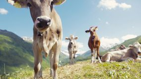 An Alpine cow is smelling the camera, than turns to its herd, licking its nose, amazing covered with snow mountain peaks