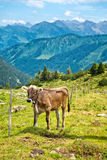 Alpine Cow Standing by Fence in Mountain Pasture. Full Length of Single Alpine Cow Standing Beside Fence in Grassy Green Mountain Pasture on Sunny Day Stock Images
