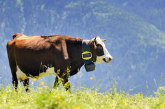 Alpine cow in summer Stock Photography