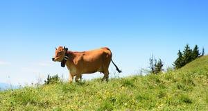 Alpine cow in summer Stock Photos