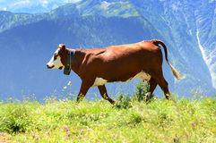 Alpine cow in summer Stock Images