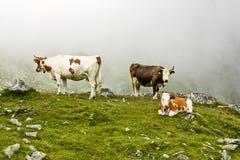 Alpine Cows. Cows grazing  in alpine pasture in Retezat mountains,Romania Stock Photos