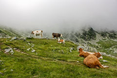 Alpine Cows. Cows grazing  in alpine pasture in Retezat mountains,Romania Royalty Free Stock Images