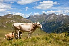 Alpine cows. Royalty Free Stock Image