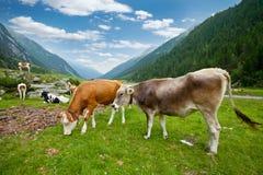 Alpine cows Royalty Free Stock Photos