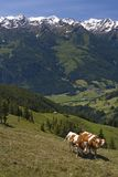 Alpine cows Royalty Free Stock Photos