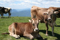 Alpine Cows, with Bell. Young cows high in the Italian Alps stock photos