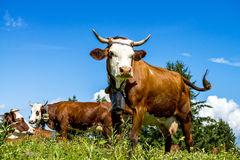 Alpine cows Royalty Free Stock Photo