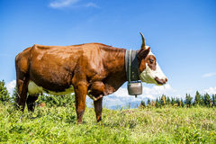 Alpine cows Stock Image