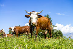 Alpine cows Stock Photography