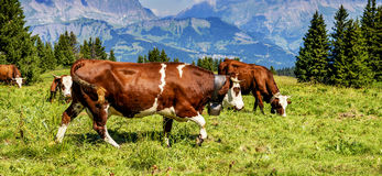Alpine cows Royalty Free Stock Images