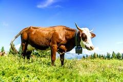 Alpine cows Stock Image
