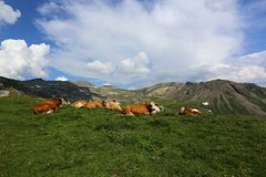 Alpine cows grazing in the meadow high in the mountains Stock Images