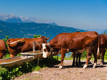 Alpine cows herd drinking water. At watertrough Stock Photography